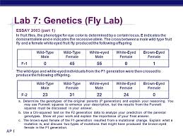 lab genetics fly lab ppt video online lab 7 genetics fly lab