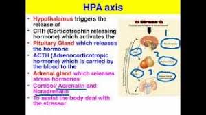 Hpa Axis Stress The Hpa Axis Vce Psychology Youtube