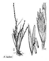 Sp. Nardurus halleri - florae.it