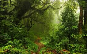 nature trees forest leaves lianas mist moss path plants ferns rainforest jungles wallpaper and background
