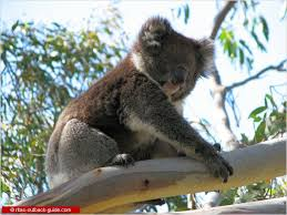 unique n animals an introduction to n wildlife koala on a tree