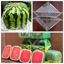 square watermelon plant. Exellent Square 2018 Large Size Plastic Heart Square Watermelon Growing Mold Transparent  Fruit Growth Forming Shaping Mould Garden Supplier From Txbiao 3799  DhgateCom For Plant N