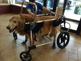 7 best equipment techniques for dog rehab or handicapped dogs images dogs wheelchairs