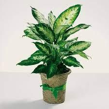Vuoi una pianta allungata ed elegante? Piante Da Appartamento Resistenti Piante Appartamento Piante Appartamento Resistenti