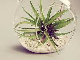 hanging terrarium air plant in glass globe wedding favor decor gift diy minimalist terrarium floating tillandsia garden