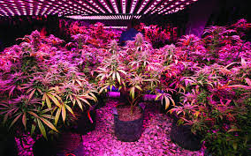 1000 watt cans grow light