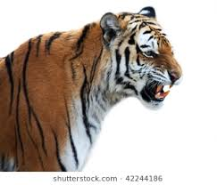 tiger roar side view. Fine Roar Tiger Roaring Isolated On The White Throughout Roar Side View R