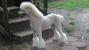 standard poodle sizes chart toy poodle height growth chart dogs in our life photo blog