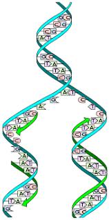 История науки Википедия Полуконсервативная репликация ДНК