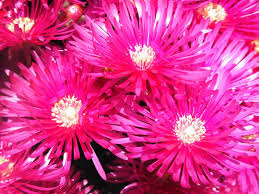 hot pink flowers wallpaper. Interesting Hot Carnation Flowers  Wallpaper Tadka 19201080 Hot Pink Flower Wallpapers  39 Wallpapers  Adorable Throughout I