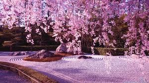 blossoms spring pink tree blossom cherry morning garden winter desktop s