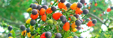 Fruit Tree Nursery Melbourne  Fruit Trees For Sale  Buy Fruit Fruit Salad Trees Usa