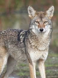 Image result for coyote photos