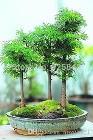 bonsai tree for office. 20 Juniper Bonsai Tree Seeds Potted Flowers Office Purify The Air Absorb Harmful Gases Landscape Flower Online With $10.82/Piece For