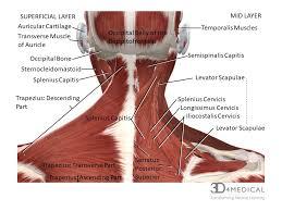 Neck Muscle Chart Muscles Advanced Anatomy 2nd Ed