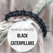 Black Caterpillar Identification Chart Black Caterpillar Identification Guide Owlcation
