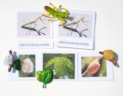 Praying Mantis Life Cycle Facts Diagram Stages Video