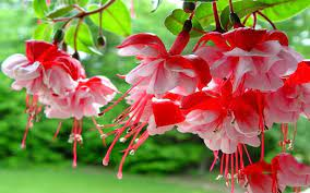 Fuchsia Spring Flowers With Red And ...