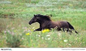 black horses running in a field. Exellent Running Black Wild Horse Running Gallop On The Field Intended Horses Running In A Field