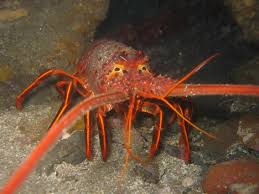 Spiny Lobster Wikipedia