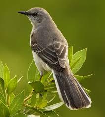 Image result for mockingbird
