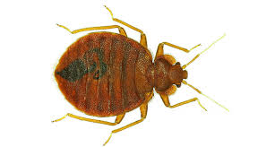 Bedbugs Images Bed Bugs Have Favorite Colors Science News For Students