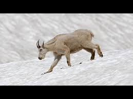 Daily Dose of <b>Nature</b> | Mountain Goats <b>Wizards</b> of the High Country ...