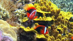 black and yellow clown fish. Plain Black Red And Black Clownfish Anemonefish Above Coral Diving North East Mane Bay  In The Russell Islands For And Yellow Clown Fish