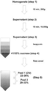 Endomembrane System Flow Chart Flow Chart Diagram Of Dense Vesicle Purification Download