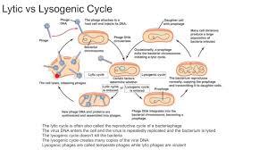 Lytic And Lysogenic Cycle Venn Diagram Lytic Cycle Diagram Basic Lambda Phage Biotech Khan