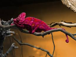 Heres A Chameleon Who Changed Color Pilelikeastack