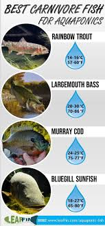 Murray Cod Growth Chart Best Aquaponic Fish Top 11 Suitable Species For Every Type