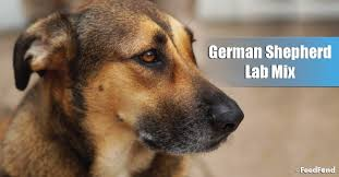 German Shepherd Exercise Chart German Shepherd Lab Mix Dog Breed Guide For 2019