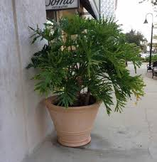 philodendron oum potted 10312016