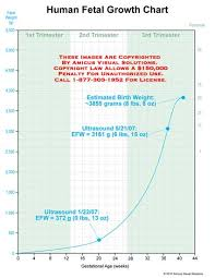 Human Fetal Growth Chart Human Fetal Growth Chart