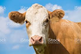 brown cow face. Fine Face Cow Face Portrait Of A Brown Cow On The Pasture With Blue Sky In Summer  Royalty Inside Brown Face