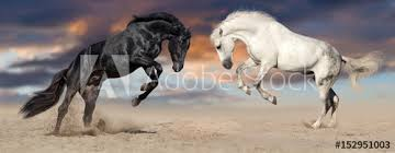 black horse rearing in sunset. Interesting Horse Two Beautiful Horse Portrait In Motion Rearing Up Against Sunset Sky  Desert Dust Black Inside Horse Rearing In Sunset E