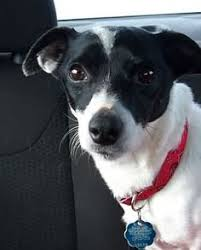 black and white jack russell terrier mix. Perfect Jack B5030755722120d973fad73a2f957e9ajpg 539960 Pixels  Quotes That I Love  Pinterest Russell Terrier Terrier And Dog Inside Black And White Jack Mix O