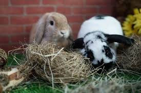 making hay time playtime for bunnies