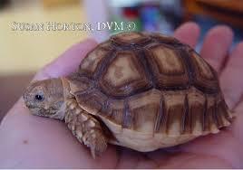 Diet For Sulcata Tortoises Chicago Exotics Animal Hospital