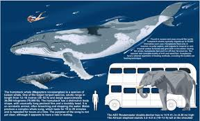 Whales By Size Chart Whale Length Chart This Poem Teaches Us About Whales