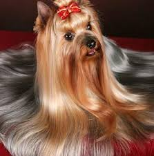 The desirable traits is presenting a proper show groom with hair that is long, straight (with no waves), and glossy (with an almost metallic sheen). How To Groom Your Yorkie Gorjesspets