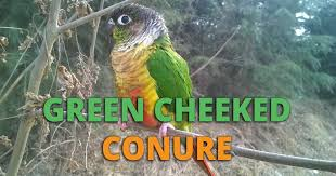 Green Cheek Conure Guide Lifespan Price Care Diet And More