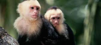 real jungle animals monkeys. Wonderful Animals A British Housewife Claims That When She Was About 5 Spent Five Years  Living As Part Of A Pack Capuchin Monkeys In Colombian Jungle In Real Jungle Animals Monkeys O