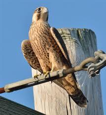 What Is A Hawk Light Peregrine Falcon Hawk Mountain Sanctuary Learn Visit Join