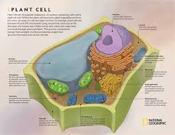 Organelles In Plant And Animal Cells Venn Diagram Comparing Plant And Animal Cells National Geographic Society