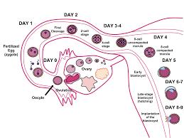 Implantation Human Embryo Wikipedia