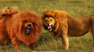 pitbull dog vs lion. Exellent Pitbull A Popular Trend With Dog Owners Is To Find Dogs That Look Like Other  Animals While Some Breeds Naturally Resemble Animalsu2014like Wolves And  In Pitbull Dog Vs Lion D