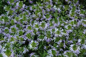 white sparkle fan flower scaevola aemula white sparkle at lakes garden centres