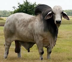 It was bred in the united states from 1885 from cattle originating in india, imported at various times from the united kingdom. Brahman Cattle International Series